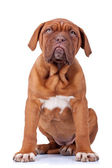 Seated french mastiff puppy — Stock Photo