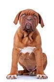 Seated french mastiff puppy — Stock Photo