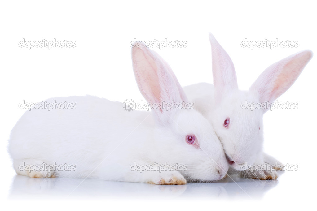 Images of Cute White Rabbits od Two Cute White Rabbits