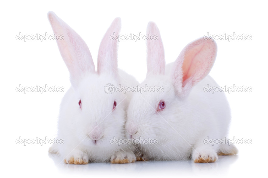 Cute White Baby Rabbits Two Cute White Baby Rabbits