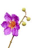 Jacaranda flower — Stock Photo