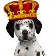 Dalmatian puppy prince - Stock Photo