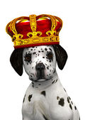 Dalmatian puppy prince — Stock Photo