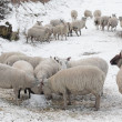 Sheep eating in snow covered landscape — Stock Photo #4257334