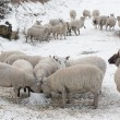 Sheep eating in snow covered landscape — Stock Photo
