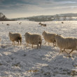 Stock Photo: Winter landscape covered and sheep in snow