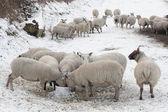 Pecore mangiando neve coperto paesaggio — Foto Stock