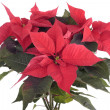 Stock Photo: Poinsettiplant isolated on white