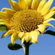 Sunflower bloom in early spring — Stock Photo #4348147