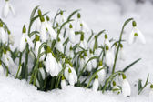 Snowdrops closeup on snow — Stock Photo