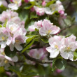 Pink cherry bloom spring flowers — Stock Photo