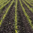 Corn seedlings crop field in spring — Stock Photo #5224949