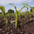Corn seedlings crop field in spring — Stock Photo #5225020