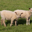 Lambs grazing in fresh pastures — Stock Photo #5225068