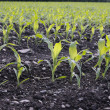 Corn seedlings crop field in spring — Stock Photo #5225922