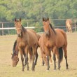 Stock Photo: Racehorses