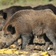 Wild boar hunting - Foto Stock