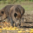 Wild boar — Stock Photo #4341705