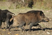 Wild boar hunting — Stock Photo