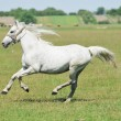 White horse galloping around the field - Stock Photo