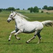 ������, ������: White horse galloping around the field