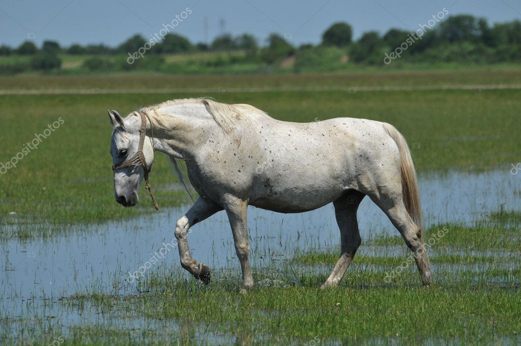 Galloping white horse - photo#9