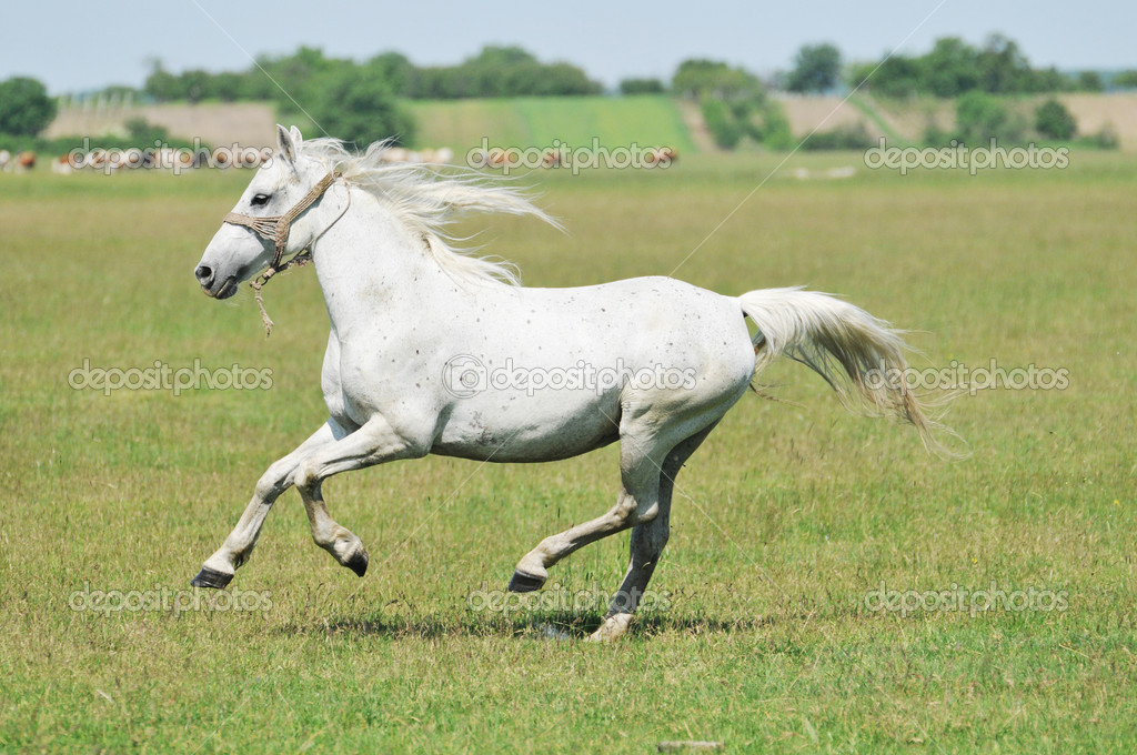 Galloping white horse - photo#5