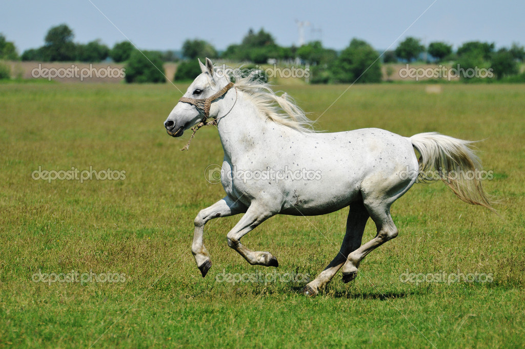 Galloping white horse - photo#18