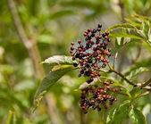 Ripening Elderberries — Stock Photo