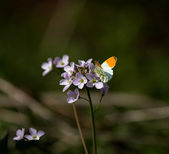 Orange-tip butterfly — Stock Photo