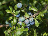 Sloe Berries — Stock Photo