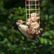 Great Spotted Woodpecker in sunlight - Stock Photo
