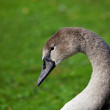 Young Mute Swan Cygnet head shot — Stock Photo