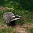 Stock Photo: Badger Cub watching
