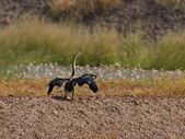 African Darter drying — Stock Photo