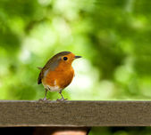 European Robin on feeder table — Stock Photo