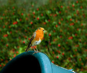European Robin on garden container — Stock Photo