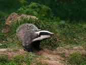 Badger Cub watching — Stock Photo