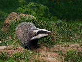 Badger Cub watching — Stock Photo