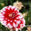 Red and White Dahlia — Stock Photo