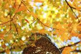 Resumen de árbol de arce — Foto de Stock