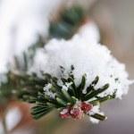Snowy Pine Branch — Stock Photo #4645090