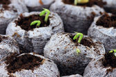 Emerging Seedlings — Stock Photo