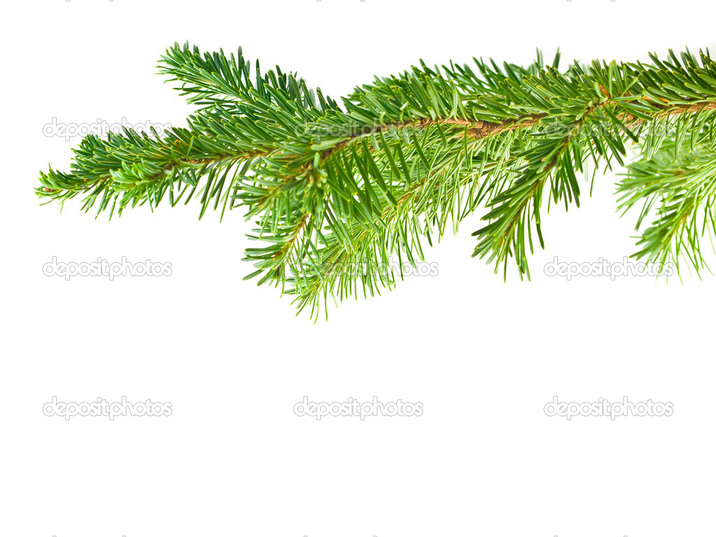 Evergreen Tree Branch Frame Isolated on White Background ... Evergreen Branch