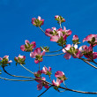 Pink blooms adorn a Dogwood tree in spring — Stock Photo