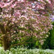 Pink blooms adorn a Dogwood tree in spring — Foto Stock
