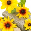 Yellow Daisies on Gray Stones Isolated on White — Stock Photo