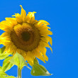 A Sunflower Still on the Plant with Bees — Stock Photo