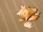 Scallop and Conch Shells on a Wind Swept Sandy Beach — Stock Photo