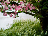 Pink Dogwood Tree Blooms at the Height of Springtime — Stock Photo